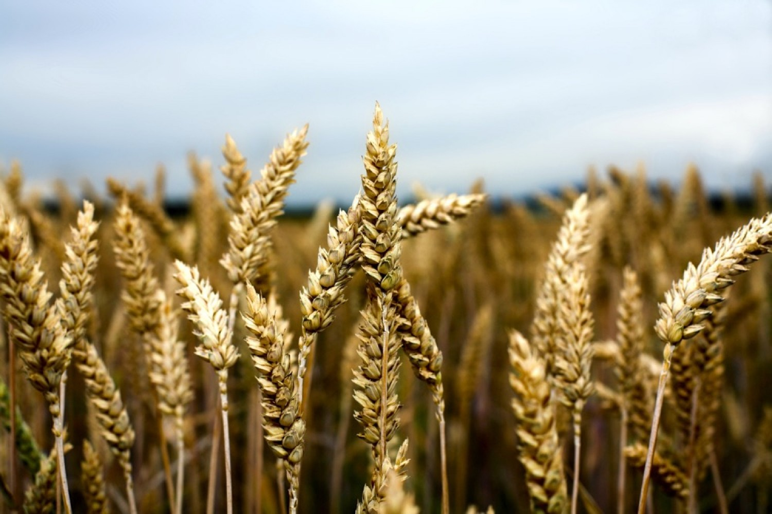 Prairie wheat growers wanted for gluten strength study